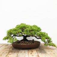 25+ yr old Juniper bonsai  (G5-49)