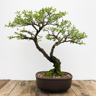 30+ yr old Cork Bark Elm bonsai  (G5-51)