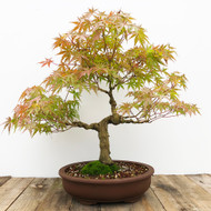 25+ yr old Japanese Maple bonsai  (G5-53)