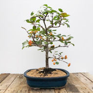 15 Year Old Crabapple Bonsai  (G5-57)