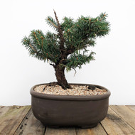 50+ Year Old Collected Spruce Bonsai (WEB 607)