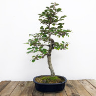 12+ Year Old Silverberry Bonsai (WEB 608)