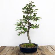 12+ Year Old Silverberry Bonsai (WEB 608)
