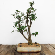 Ligustrum Privet Bonsai in Paul Olson Pot (WEB 609)