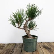 Japanese Black Pine Pre-Bonsai (WEB 612)