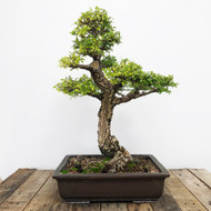 25+ Year Old Cork Bark Chinese Elm in Yamaaki Pot (WEB 616)