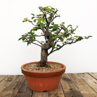 Flowering Chinese Quince Pre-Bonsai (WEB 618)
