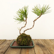 Black Pine Kokedama Moss Ball (WEB 619)