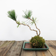 Black Pine Kokedama Moss Ball (WEB 620)