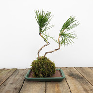 Black Pine Kokedama Moss Ball (WEB 621)