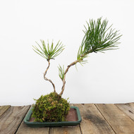Black Pine Kokedama Moss Ball (WEB 622)