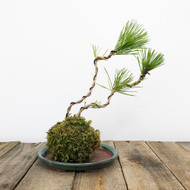 Black Pine Kokedama Moss Ball (WEB 623)