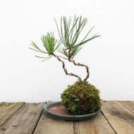 Black Pine Kokedama Moss Ball (WEB 624)