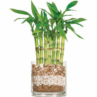 Lucky Bamboo - Seven Stalk Fence (Indoor)