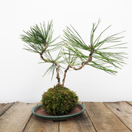 Black Pine Kokedama Moss Ball (WEB 627)