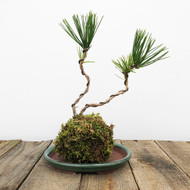 Black Pine Kokedama Moss Ball (WEB 628)