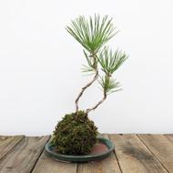 Black Pine Kokedama Moss Ball (WEB 629)