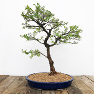 20+ yr old Cork Bark Elm bonsai  (WEB 630)