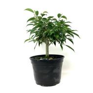 Oriental Ficus Pre-Bonsai