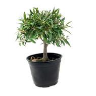 Willowleaf Ficus Pre-Bonsai