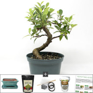 Compact Tiger Bark Ficus Bonsai Tree Kit. S-Curve Trunk Movement Makes This Tree Look Ideal.