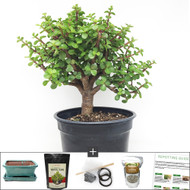 Refined Dwarf Jade Bonsai Tree DIY Kit. Great Jade with Fat Trunk the size of your Thumb.