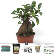 Compact Grafted Ginseng Ficus Bonsai Tree Kit. Perfect Indoor Bonsai