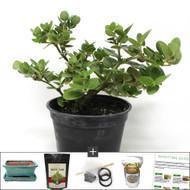 Compact Flowering Natal Plum (Carissa) Bonsai Tree Kit. Great Indoor Bonsai