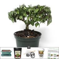Compact Parrots Beak Bonsai Tree Kit. Great Indoor Bonsai & Leaves Look Like Parrot.