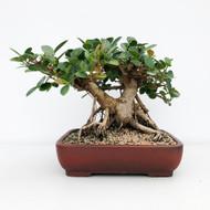 Green Island Ficus In the Perfect Yixing Pot (WEB632)