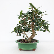 Green Island Ficus Glazed Chinese Pot (WEB634)