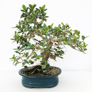Green Island Ficus with Great Movement in Glazed Pot (WEB638)