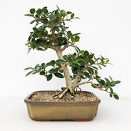 Green Island Ficus in Glazed Chinese Pot (WEB640)
