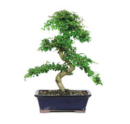 Fukien Tea Bonsai Tree (FT10) (Indoor)