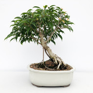 Root Over Rock Oriental Ficus In Glazed Japanese Pot (WEB645)