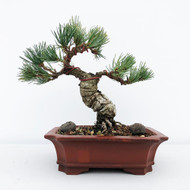 Japanese White Pine - Five Needle Pine (WEB648)