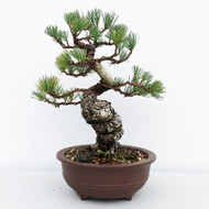 Japanese White Pine - Five Needle Pine (WEB649) - FREE SHIPPING