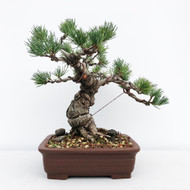 Japanese White Pine - Five Needle Pine (WEB650) - FREE SHIPPING
