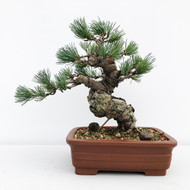Japanese White Pine - Five Needle Pine (WEB651)