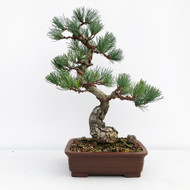 Japanese White Pine - Five Needle Pine (WEB652)