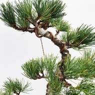 Japanese White Pine - Five Needle Pine (WEB653)