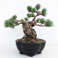 Japanese White Pine - Five Needle Pine (WEB654)