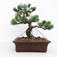 Japanese White Pine - Five Needle Pine (WEB656)