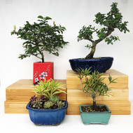 Exclusive Indoor Tropical Bonsai Gift Pack (TG-005)