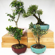 Exclusive Indoor Tropical Bonsai Gift Pack (TG-006)