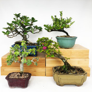 Exclusive Indoor Tropical Bonsai Gift Pack (TG-008)