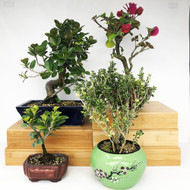 Exclusive Indoor Tropical Bonsai Gift Pack (TG-010)