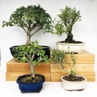 Exclusive Indoor Tropical Bonsai Gift Pack (TG-012)