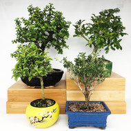 Exclusive Indoor Tropical Bonsai Gift Pack (TG-013)