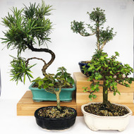 Exclusive Indoor Tropical Bonsai Gift Pack (TG-014)